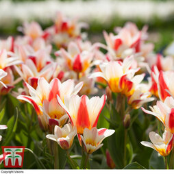 Tulip 'Floresta' (Kaufmanniana group)