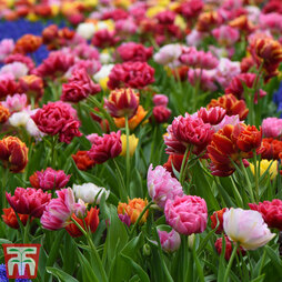 Tulip 'Murillo Mixed'