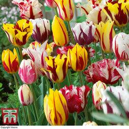 Tulip 'Rembrandt Mix'
