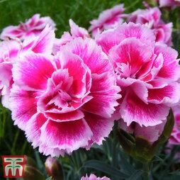 Dianthus 'Odessa Twiggy'