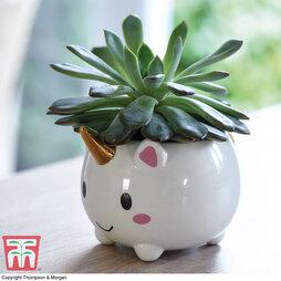 Echeveria (House plant)