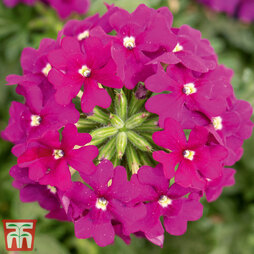 Verbena 'Vectura® Purple'