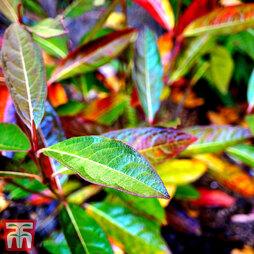 Viburnum nudum 'Brandywine'