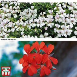 Geranium Red & White Mix