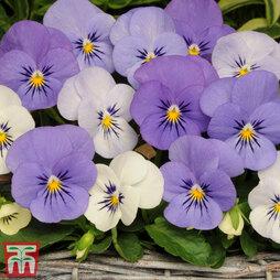 Viola hybrida 'Sorbet Yesterday Today & Tomorrow'