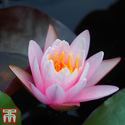 Water Lily Pink in a Pond Basket (Pre-planted)
