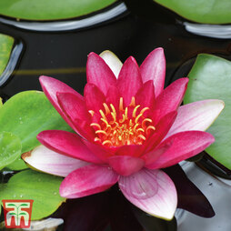 Water Lily Red with Pond Basket