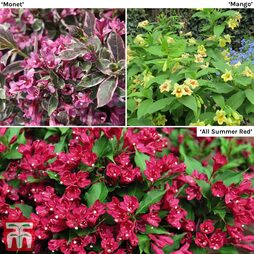 Weigela Summer Trio