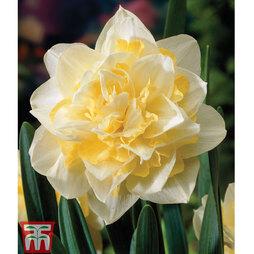Narcissus 'White Lion'