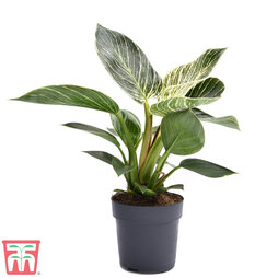 Philodendron 'White Measure' (House Plant)