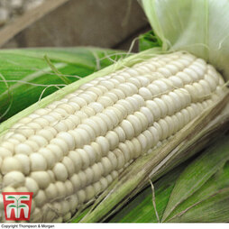 Sweetcorn 'White Lady'