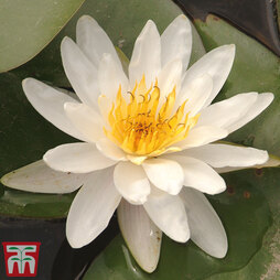 Water Lily White with a Pond Basket