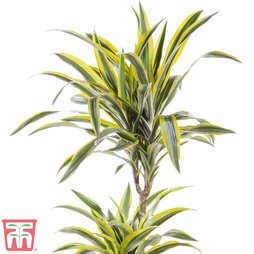 Dracaena fragrans 'Yellow Coast' (House Plant)