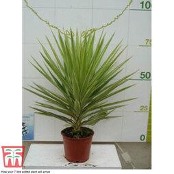 Yucca elephantipes 'Jewel' (House Plant)