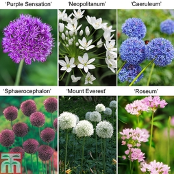 100 Architectural Garden Alliums