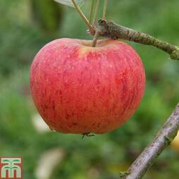Apple 'Paradice Gold'