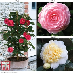 Camellia 'Blooming Wonder' Trio