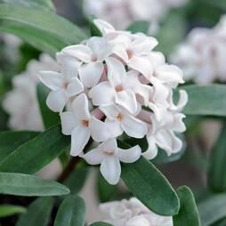 Daphne 'Eternal Fragrance'