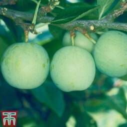 Gage 'Old Greengage'