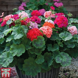 Geranium 'Jackpot Mixed' With 100g Fertiliser