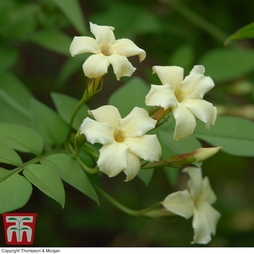 Jasminum officinale 'Clotted Cream'