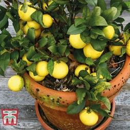 Fruiting Lemon Bush