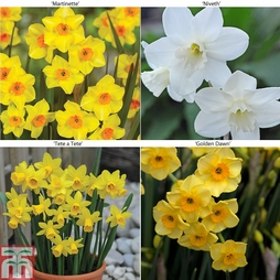 Narcissus 'Dwarf Collection' bulb packs