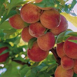 Peach 'Peregrine'