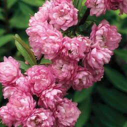 Prunus glandulosa 'Rosea Plena'