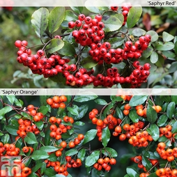 Pyracantha Duo