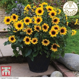 Sunflower SunBelievable™ 'Brown Eyed Girl'