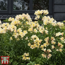 Alstroemeria 'Summer Snow'