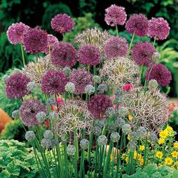 Allium 'Lover's Collection'