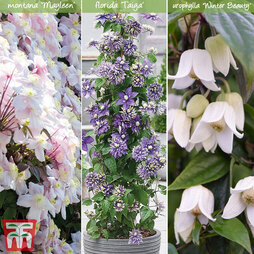 Clematis All Season Collection