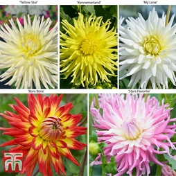 Dahlia 'Cactus Collection' 5 or 10 Plants