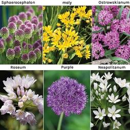Allium 100 Collection